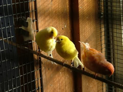 Canaries in an aviary